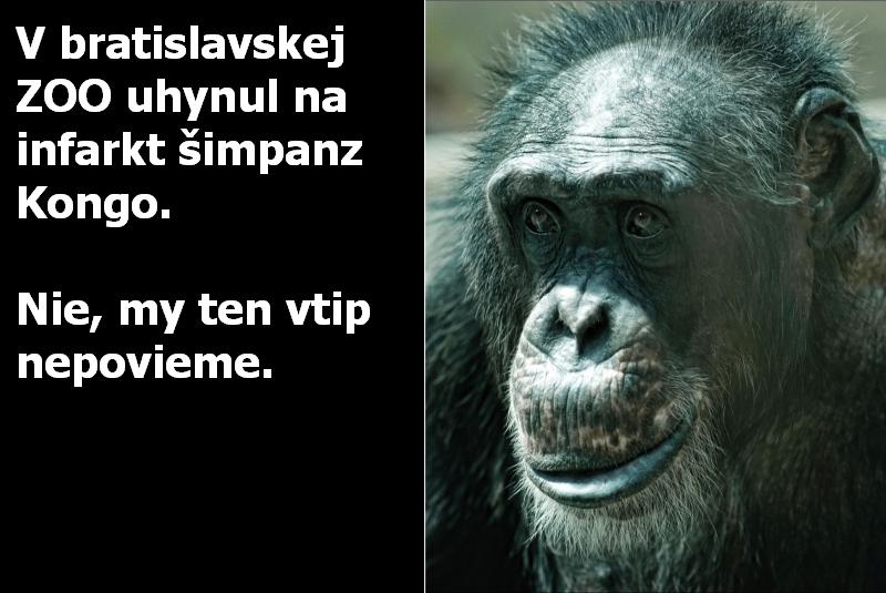 V bratislavskej ZOO uhynul na infarkt šimpanz Kongo. Nie, my ten vtip nepovieme.